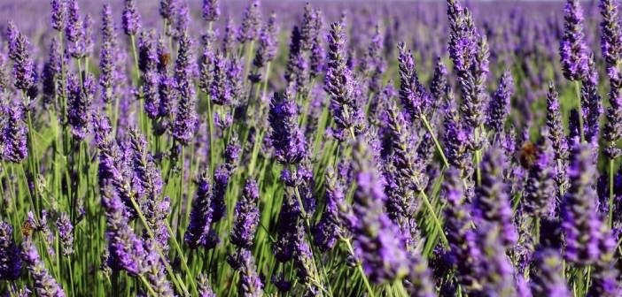 La culture de la lavande en Provence
