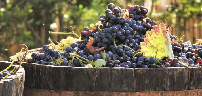 Vents dans les vignes: fêtez les vendanges à Vendémian, le 1eroctobre 2016