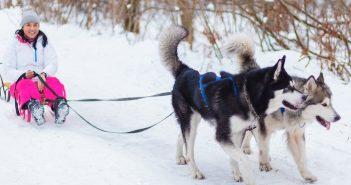 Randonnée, promenade en traîneau : les chiens d'attelage vous baladent en toute saison