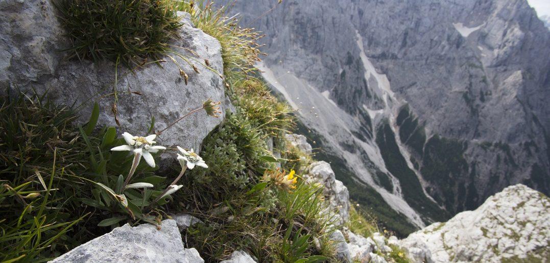 Reconnaître les plantes de montagne et leurs vertus