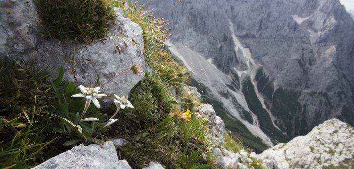 Plantes de montagne et leurs vertus